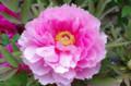 [花]小石川後楽園 ボタン
