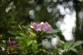 [花]新宿御苑 セイヨウシャクナゲ