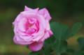 [花]日比谷公園のバラ 友禅