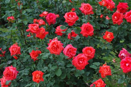 日比谷公園のバラ ローラ