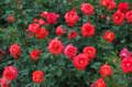 [花]日比谷公園のバラ ローラ