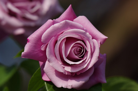 日比谷公園のバラ シャルル・ドゥ・ゴール