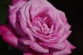 [花]日比谷公園のバラ ブルー・パーフューム