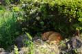 [ねこ]日比谷公園のねこ