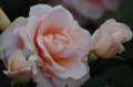 [花]旧古川庭園 春のバラフェスティバル 琴音