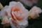 旧古川庭園 春のバラフェスティバル 琴音