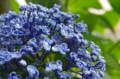 [花]銀座の紫陽花