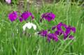 [花]清澄庭園 花菖蒲