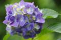 [花]清澄庭園 紫陽花