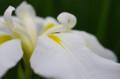 [花]小石川後楽園 花菖蒲