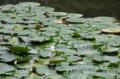 [花]小石川後楽園 睡蓮