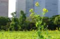[花]浜離宮 菜の花
