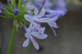 [散歩][花]日比谷公園 アガパンサス