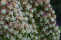 [花]浜離宮 柏葉紫陽花