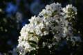 [花]谷中霊園のサルスベリ