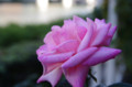[旅][花]中之島公園のバラ