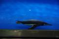[旅]名古屋港水族館 ペンギン