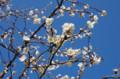 [旅][花]平尾山荘の梅
