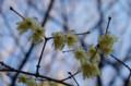 [旅][花]福岡市動植物園 ソシンロウバイ