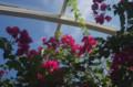 [旅][花]福岡市動植物園 ブーゲンビリア