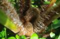 [旅][花]福岡市動植物園 マルハチヘゴ