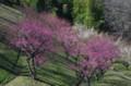 [旅][花]福岡市動植物園 梅
