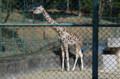 [旅][散歩]福岡市動植物園 キリン