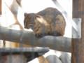 [旅][散歩]福岡市動植物園 ツシマヤマネコ