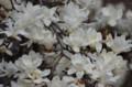 [花]ハクモクレン