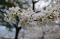 [旅][花]警固神社の桜