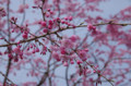 [旅][花]舞鶴公園でお花見