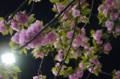 [花]銀座の八重桜