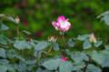 [花]日比谷公園のバラ