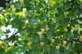 [花]ユリノキの花