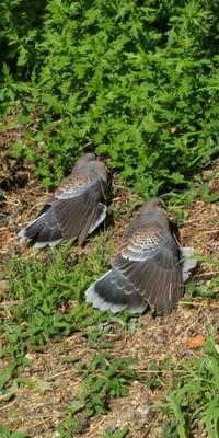 羽を広げた鳩