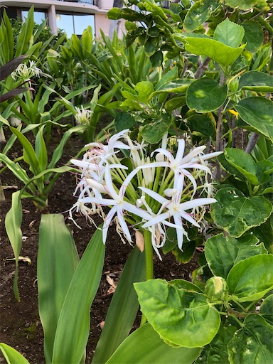 f:id:Hawaii_raoukona:20200525191117j:image