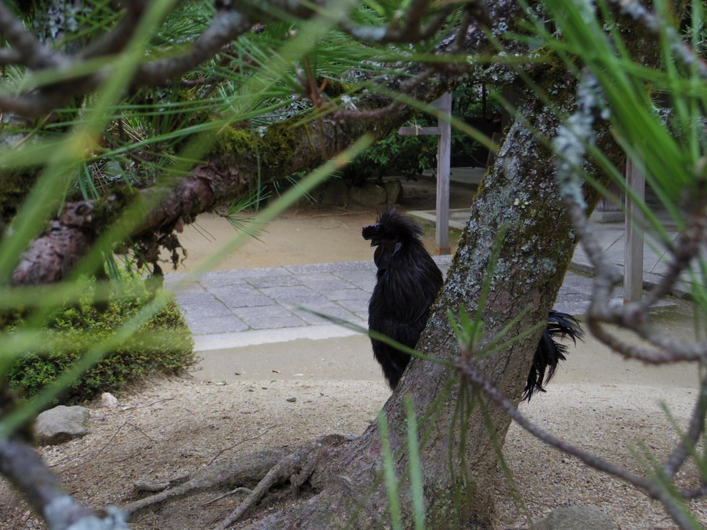 石上神宮の黒い鶏
