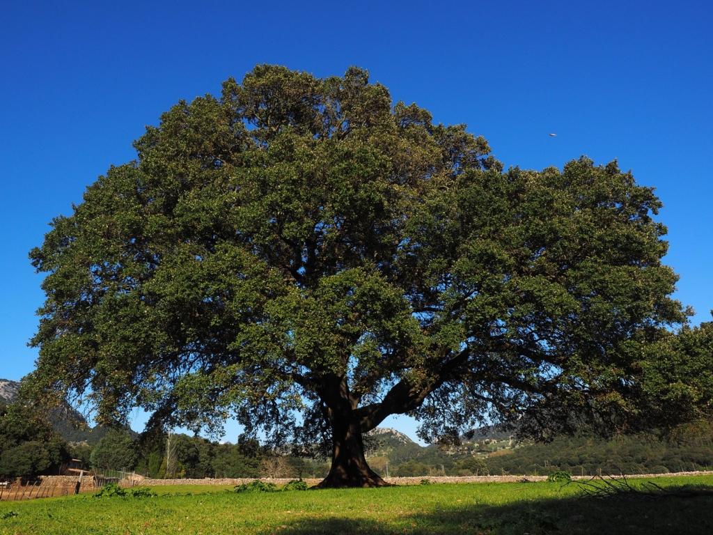昔の日立の広告に出てくるこの木、何の木