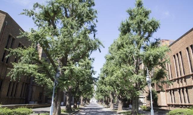 本郷の銀杏並木