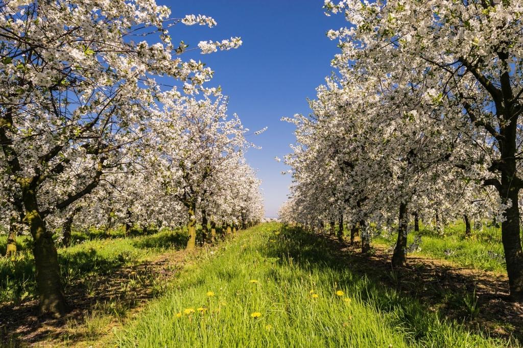 ドイツにもある桜