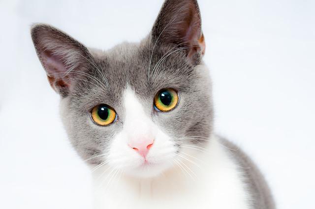 哺乳類の例、猫