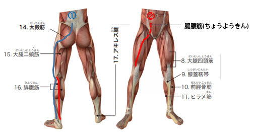 筋肉のつながりの図