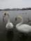 [冬]白鳥
