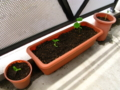 ゴーヤーの苗を植え替え
