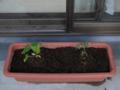 2012/4/10キュウリとトマト