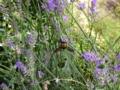 ラベンダーにクマバチ