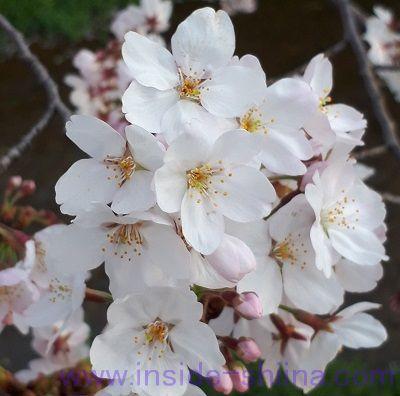 2019年4月桜