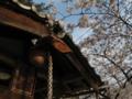 大神宮と桜