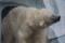 [白熊][上野動物園]