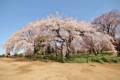 新宿御苑枝垂れ桜2015